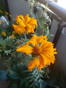 Marigolds going mad!