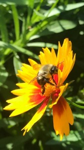 Honey bees in the Coreopsis.