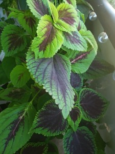 Coleus at its finest.