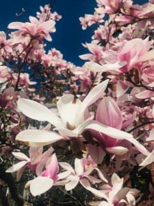 Magnolias in all their glory